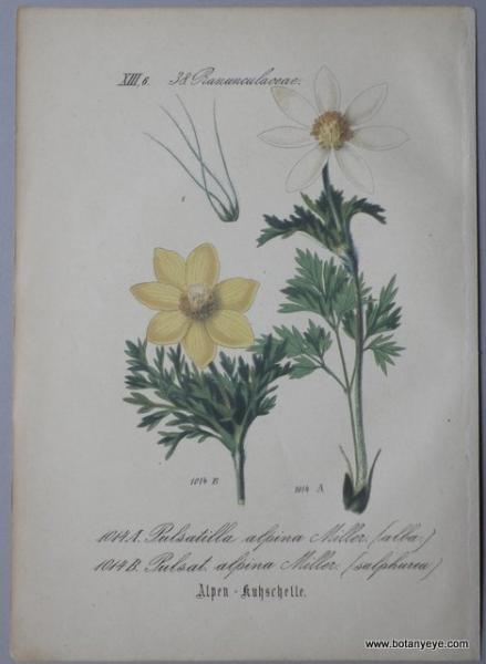 Pulsatilla alpina  オキナグサの一種  プルサティラ アルピナ