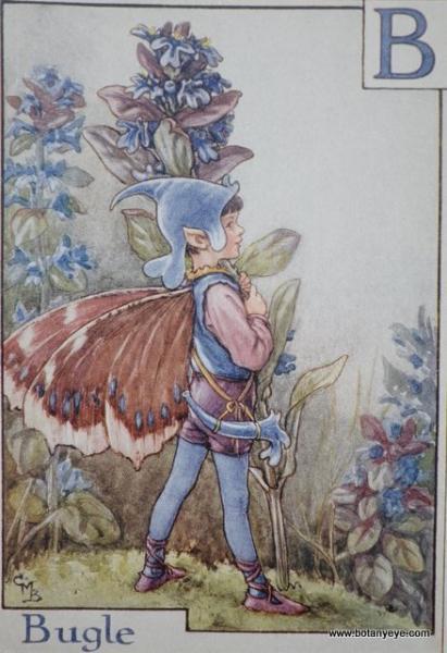 『B』 Bugle Fairy  ビューグル(セイヨウキランソウ)の妖精