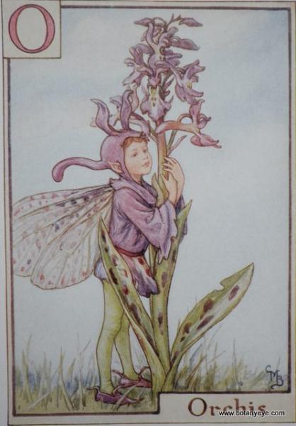『O』 Orchis Fairy  オルキスの妖精