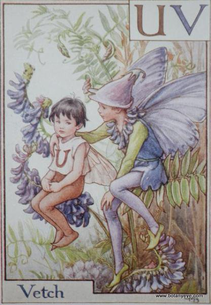 『UV』 Vetch Fairy クサフジの妖精