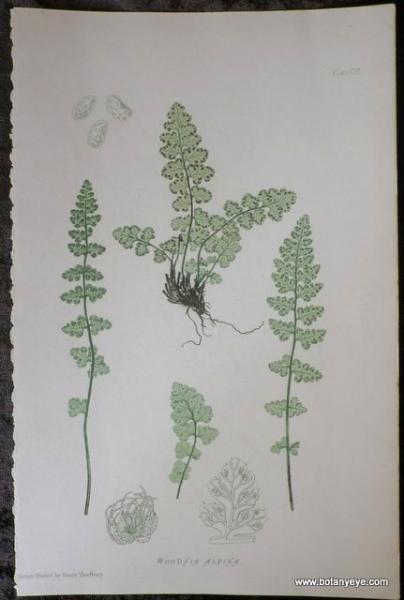 シダ植物 Woodsia alpina  イワデンタ アルピナ