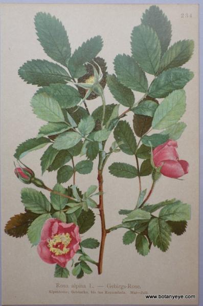 Rosa alpine アルパイン ローズ