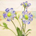 <b>【即納可!】</b>【Art silk flower】「スカビオサ」ブルー 8本セット<img class='new_mark_img2' src='https://img.shop-pro.jp/img/new/icons24.gif' style='border:none;display:inline;margin:0px;padding:0px;width:auto;' />
