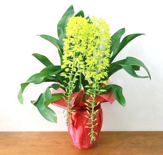 小さな花がいっぱいの洋蘭グラマトフィ...
