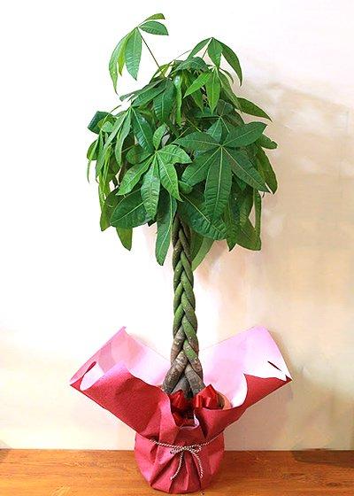 編み込んだ樹形が人気のパキラ M [開店祝い/開業祝い/移転/引越祝い/観葉植物]